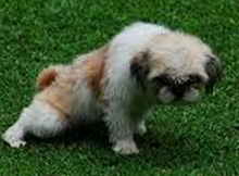 Housebreaking Your Shih Tzu