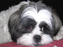 Shih Tzu Fanz Cute Look