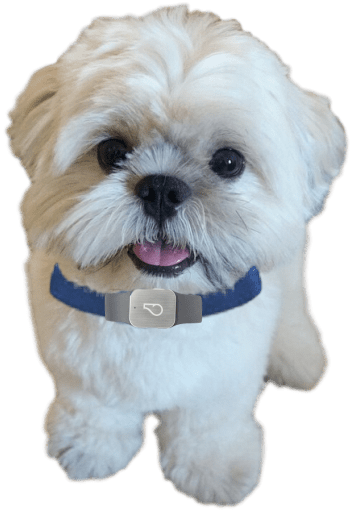 shih tzu collar shih tzu fanz it is all about y our shih tzu 2254